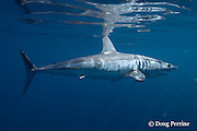 shortfin mako shark, Isurus oxyrhinchus, female with mating scars on flank and copepod parasites on flank<br /> King Bank, North Island, New Zealand ( South Pacific Ocean )
