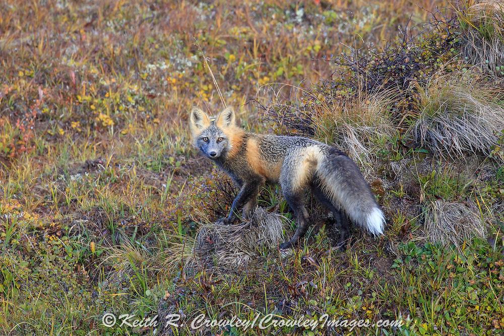 Cross fox (color variation of Red fox - Vulpes vulpes) in boreal habitat