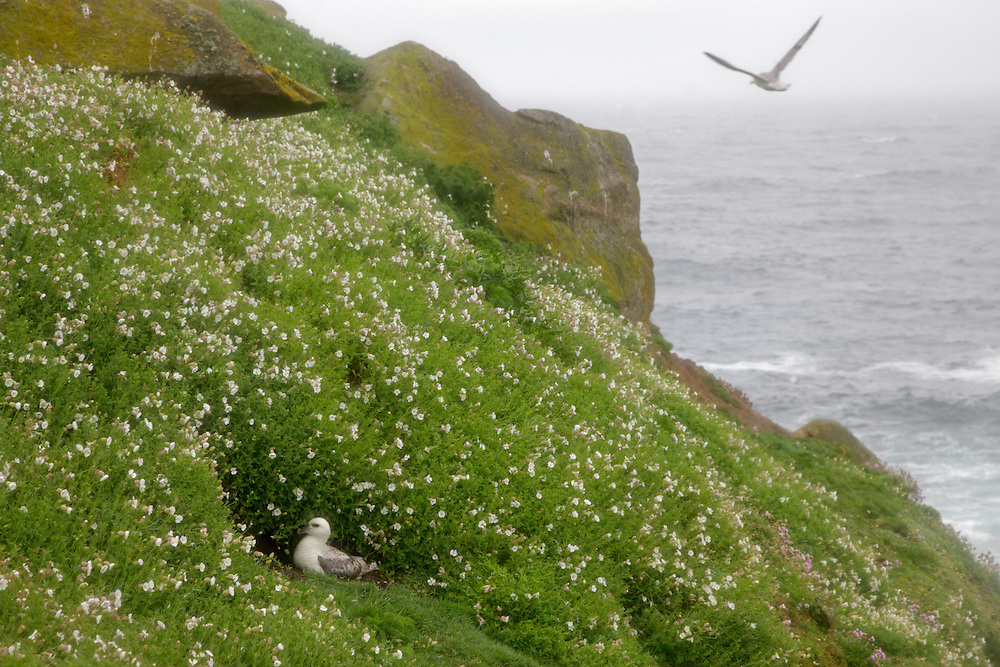 Fulmar, Fulmarus glacialis, in flower bed, Saltee Islands Ireland