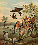 The Death of Cock Robin. 'All the birds of the air went a-sighing and a-sobbing/When they heard of the death of poor Cock Robin'. Chromolithograph c1880 illustrating the nursery rhyme.  In foreground are typical English song birds: Wren on headstone, Song Thrush, centre, Skylark.Goldfinch, Chaffinch, Goldfinch, Bullfinch and Yellowhammer.