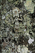 leaftail gecko, Saltuarius cornutus,  kuranda, north queensland