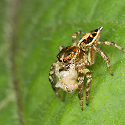 Jumping spider (Salticidae) eating another jumping spider. The jumping spider family (Salticidae) contains more than 500 described genera and about 5,000 described species, making it the largest family of spiders with about 13% of all species.