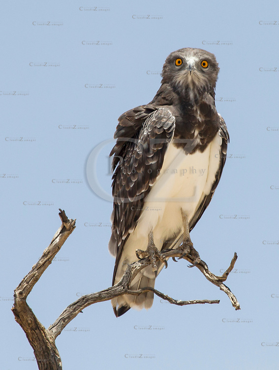 Martial Eagle at Nobbob in Kgalagadi Transfrontier Park South Africa ©Claudio Zamagni
