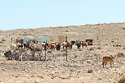 Israel, Negev Desert. A herd of goats in an unrecognized, Beduin Shanty township