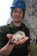 Grad student Dagfinn Breivik Skomsø holds newly-hatched chick during field research on kittiwake colony at Blomstrand island; Kongsfjorden, Svalbard.