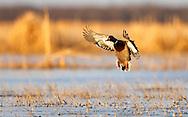 Mallard duck at the Delta Marsh, early Thursday, April 12, 2012. (TREVOR HAGAN)