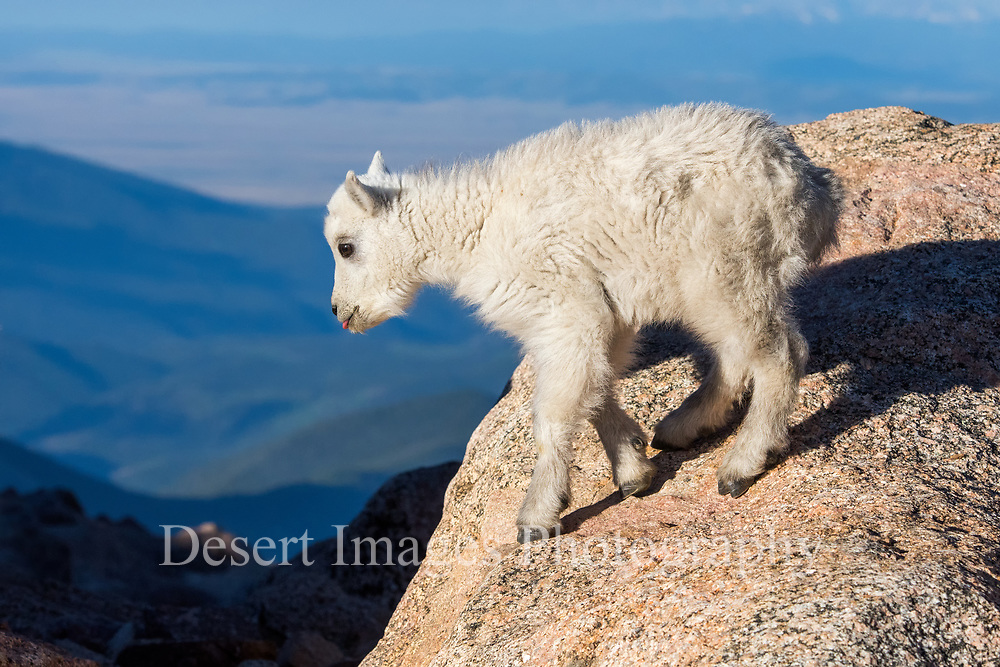 Mountain Goat Kid<br /> Mt. Evans, Colorado