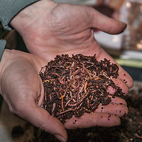 A large handful of red wriggler worms for vermicomposting