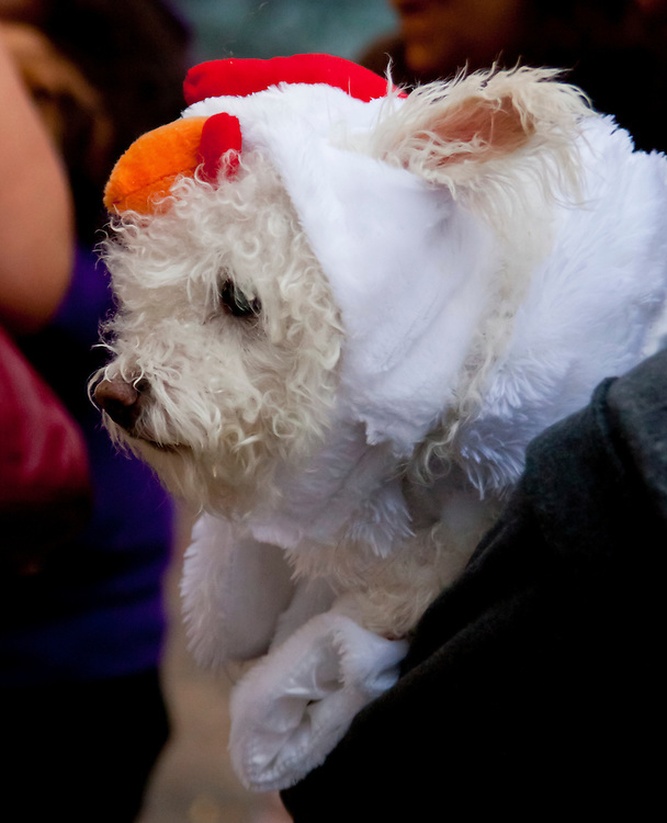 Dog in costume. Taken at the Halloween Day Parade in Park Slope, Brooklyn.