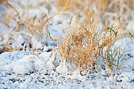 Salt entombs small grasses, growing in a harsh environment, Death Valley National Park