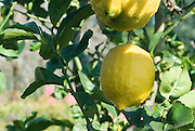 Fresh Lemons on a lemon tree
