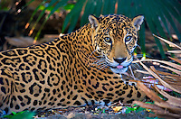 Jaguar (Panthera onca), Central America Jaguar (Panthera onca) Linnaeus, Costa Rica. Jaguars are the third largest cat of the world, ranking behind the tiger and African lion. In spite of their large size and powerful build, however, jaguars (el tigre of the Mexicans) are shy and retiring. They seldom, if ever, attack man unless cornered or at bay. They are thought to roam over a l Image by Andres Morya