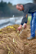 Nederland, Overloon, 13-4-2016Aspergeteler Antoon Willemssem steekt zijn eerste asperges van dit seizoen. Later deze week gaat de oogst echt van start.Foto: Flip Franssen
