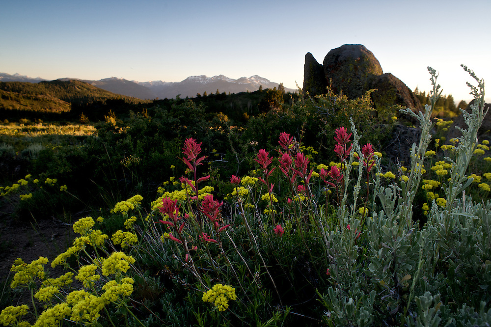 A heavy winter snowpack has melted beneath the Sierra sky and given way to streams dancing with runoff, creating an abundance of wildflowers.  Here lupine, sulphur buckwheat, mules ears, and indian paintbrush adorn a field near Monitor Pass.