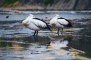 Pelicans resting on a rockshelf, South Coast, NSW, Australia