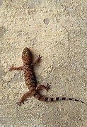 Mediterranean house gecko (Hemidactylus turcicus) on a wall. Mediterranean house geckos are nocturnal insectivores that cling to surfaces using the wide pads on their toes. They are voracious predators and are attracted to light sources to find their prey. Photographed in Israel in December