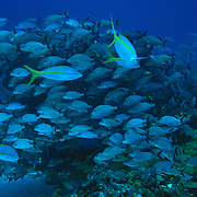 School of fish on coral reef..Cozumel, Quintana Roo..Mexico.