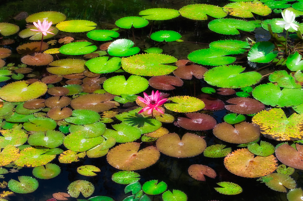 Waterlilies growing in a pond in North Fort Myers, Fl.