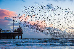 © Licensed to London News Pictures. 31/01/2018. Brighton, UK. Starlings murmuring at Sunset over Brighton Pier. Photo credit: Hugo Michiels/LNP