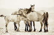Band of Dun Horses, Pryor Mountain, Montana