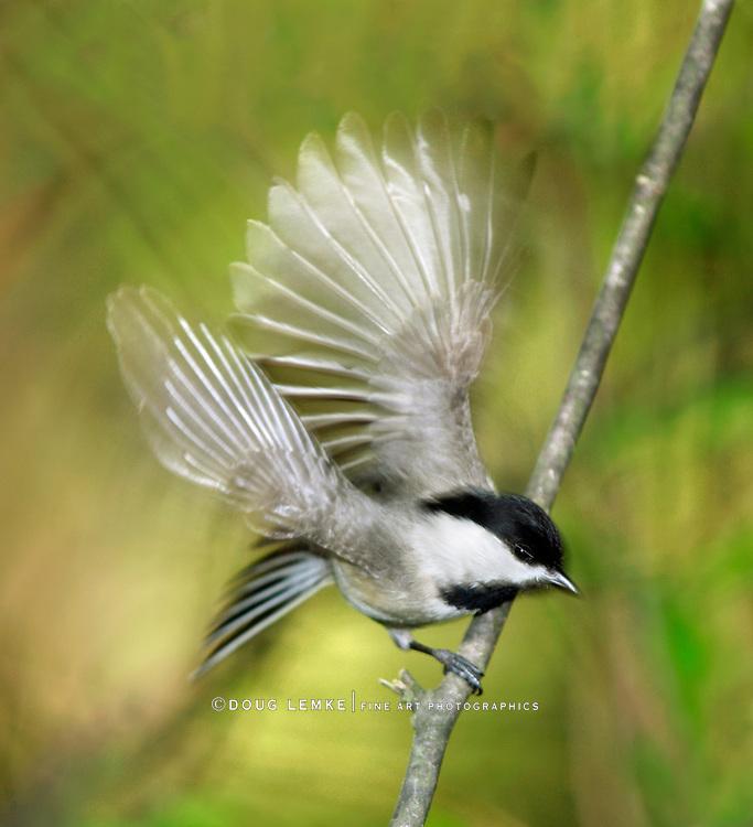 A Tiny Bird, The Carolina chickadee In Motion blur While Taking Flight, Poecile carolinensis