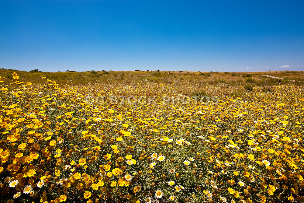 Field Of Yellow Flowers On A Hillside