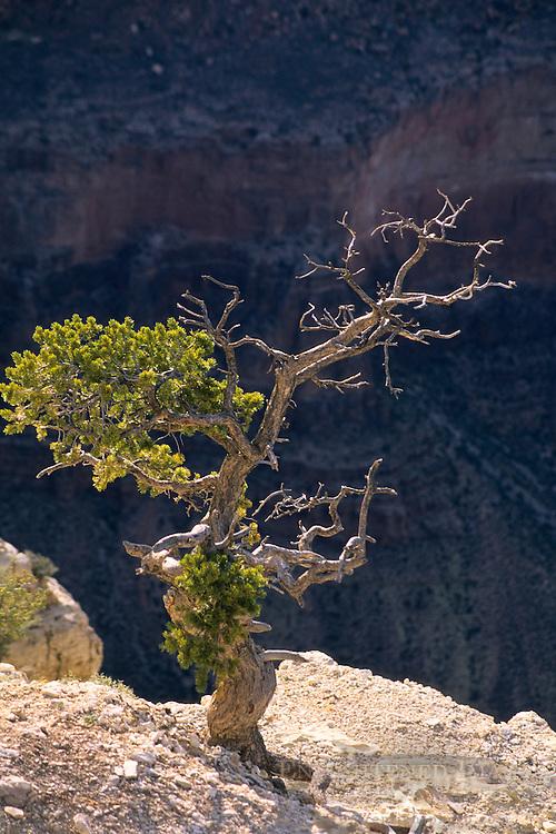 Backlit pine tree at Yavapai Point, South Rim, Grand Canyon National Park, Arizona