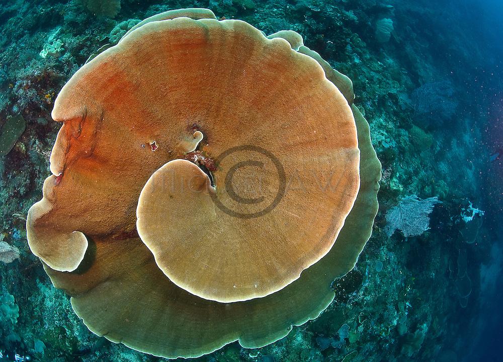 East Indonesia, Raja Ampat, large plate coral