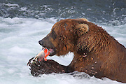 A Grizzly Bear (Ursus arctos) munches on his salmon lunch as he holds the fish in his razor sharp claws at Brooks Falls in Alaska's Katmai National Park.