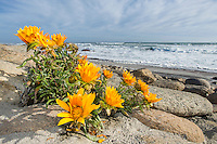 Didelta carnosa flowers growing on the coastline of the Namaqua National Park. Northern Cape. South Africa.