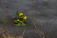 Vroeg bloeiende gewone dotterbloem in het ijs.