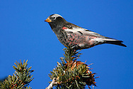 Adult male<br /> Bernalillo Co., NM<br /> December 2005