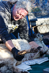 Biologists with restrained female Mexican wolf (Canis lupus baileyi) during medical procedure at wolf management facility, Ladder Ranch, west of Truth or Consequences, New Mexico, USA.