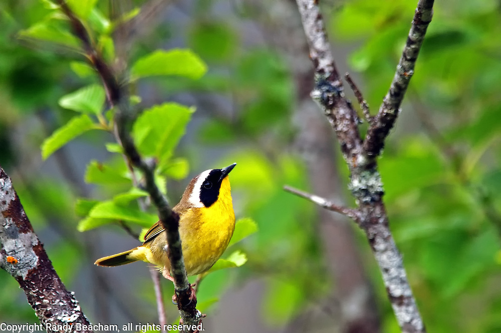 Common yellowthroat in an alder thicket. Yaak Valley Montana