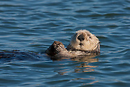 California Sea Otter resting amidst a raft of otters - Elkhorn Slough, California