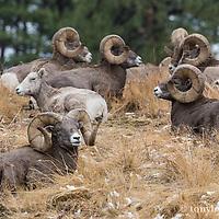 trophy big horn sheep