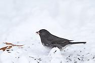 01569-01518 Dark-eyed Junco (Junco hyemalis) feeding in on ground in winter, Marion Co., IL