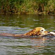 Photography was made during the  American Water Spaniel Club, Water Trial,  at  the Wern Valley Sportsman's Club in Waukesha, WI, July 31, 2014.  The 2014  AWSC  National Specialty and Hunt Tests took place from July 30 - Aug 2.