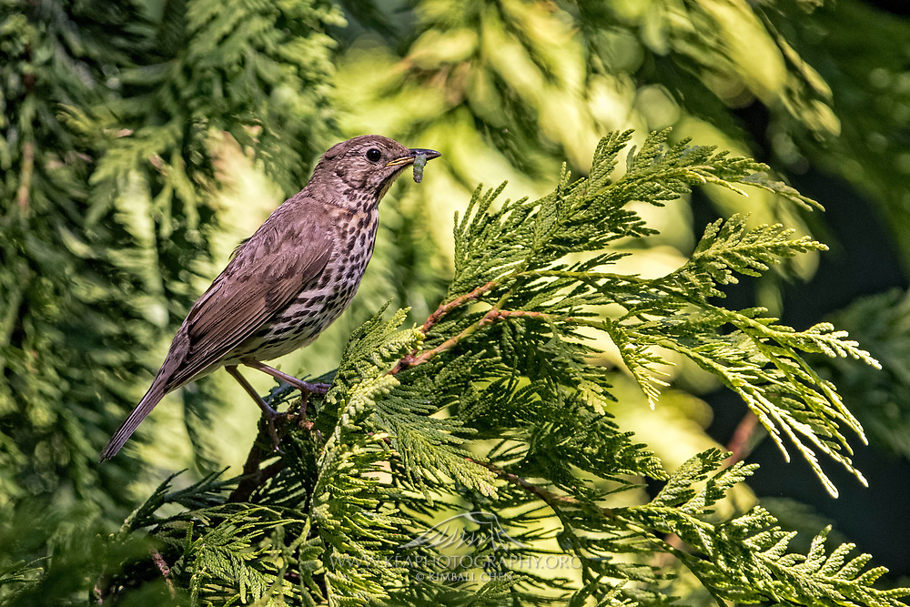 Song Thrush with worm, New Zealand