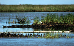 21 August 2010. Bay Jimmy, south Louisiana. <br /> Despite government and BP efforts to persuade the public otherwise, oil continues to wash up in the marshes of Bay Jimmy, flowing under absorbent oil boom as the worst environmental disaster in US history continues to unfold in south Louisiana.  Despite concerted clean up efforts, filthy oil laden absorbent oil boom lies uselessly in the marshes the boom is suppose to protect.<br /> Photo credit; Charlie Varley/varleypix.com