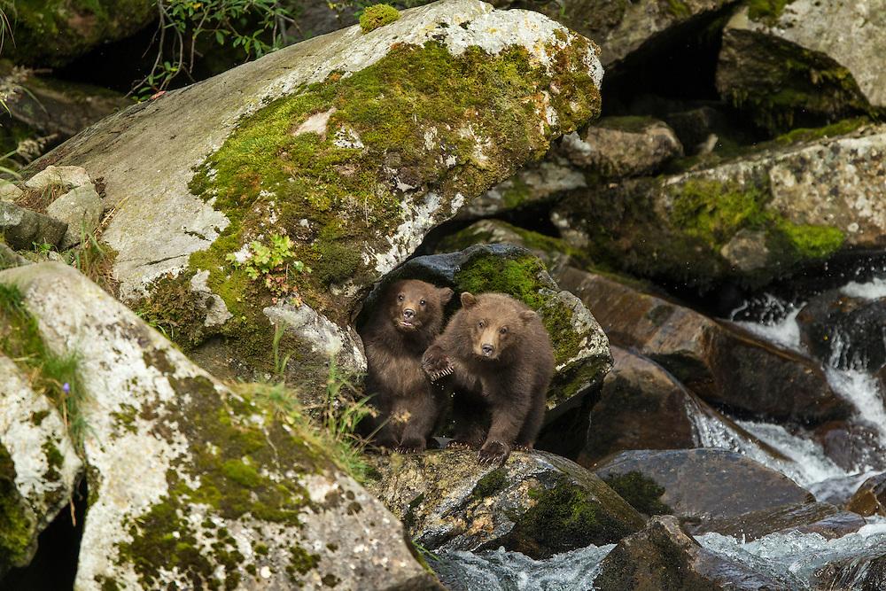 USA, Alaska, Katmai National Park, Coastal Brown Bear Spring Cubs (Ursus arctos) climbing on rocky waterfall along salmon spawning stream by Kuliak Bay