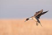 Northern Pintail, Anas acuta, male, Marshall County, South Dakota