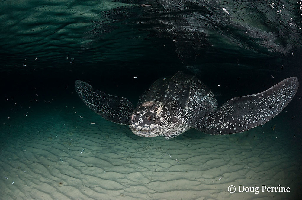 leatherback sea turtle, Dermochelys coriacea ( Critically Endangered species ), female swims back out to sea after laying eggs on beach in Parque Nacional Jaragua, Dominican Republic ( Caribbean Sea )