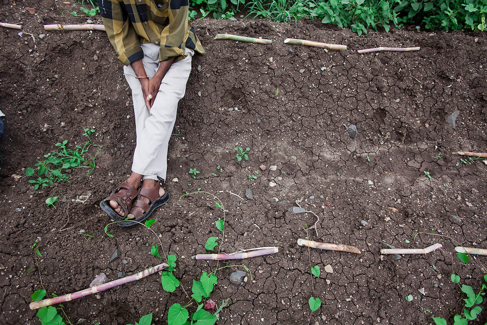 A farmer takes rest as sugarcanes are lined up for plantation in a field in the outskirts of Pune, Maharashtra, India, on Thursday July 9, 2009. Photographer: Prashanth Vishwanathan/NYT