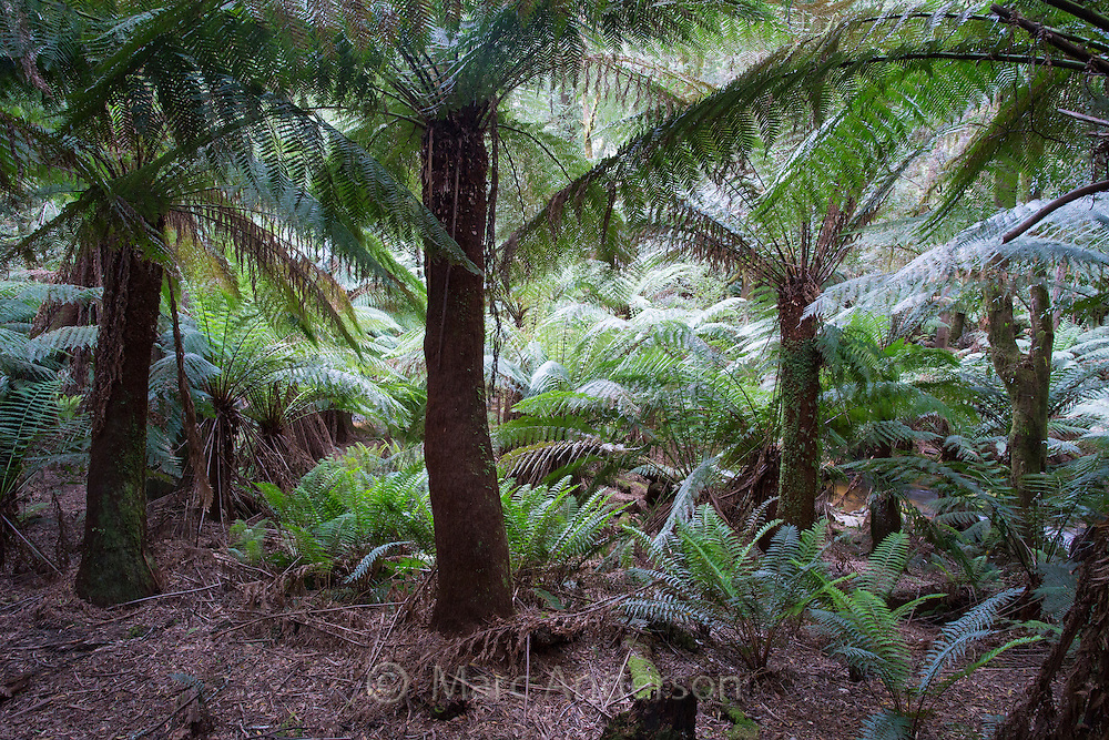 Tree ferns (Dicksonia antarctica) in lush temperate rainforest, St Columba Falls State Reserve, Tasmania, Australia