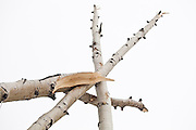Splintered quaking aspen (Populus tremuloides) trees leaning against each other in Uncompahgre National Forest, Colorado.
