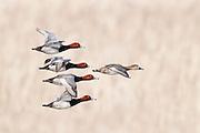 Redheads, Aythya americana, Brown County, South Dakota