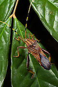 Big-legged Bug or Squash Bug (Coreidae)<br /> Yasuni National Park, Amazon Rainforest<br /> ECUADOR. South America