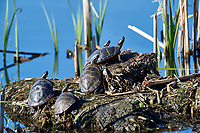 Eastern Painted Turtle, (Chrysemys picta), hauled out on a Muskrat lodgeAnnapolis Royal Marsh, French Basin trail, Annapolis Royal, Nova Scotia, Canada,