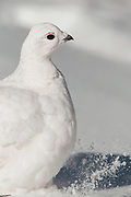 Stock image of white tailed ptarmigan captured in Colorado.  During late summer and the beginning of autumn, ptarmigan start changing from their summer plumage to their winter plumage